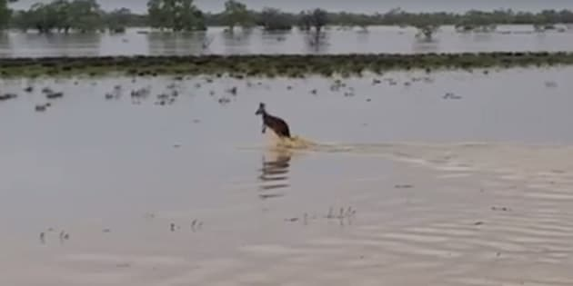 This kangaroo takes jumping puddles to the extremes.