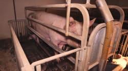 Scandale pour le jambon de Parme, des cochons dans des