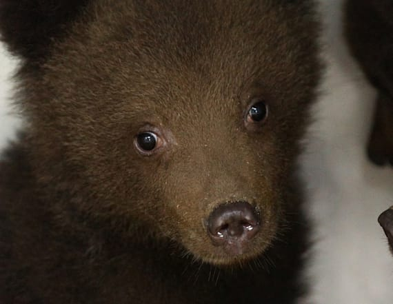 Call of Bulgaria's wild beckons for orphan bears