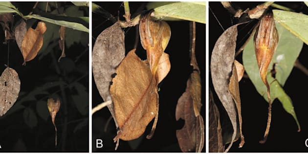 Dites bonjour à cette espèce du genre des poltys et de la famille des Araneidae. Bref, une araignée.