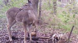 Lo que faltaba: a Bambi le encanta hincar el diente a huesos