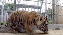 De tigrecitos a