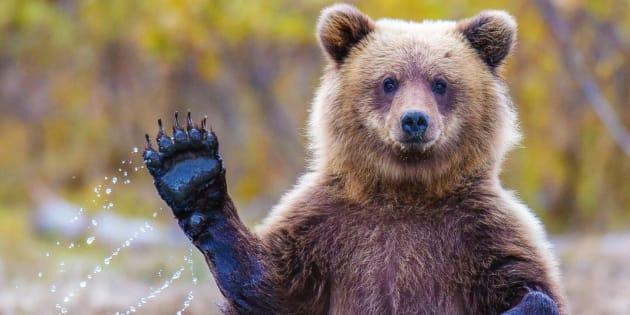 Un Ours Brun dans la nature.