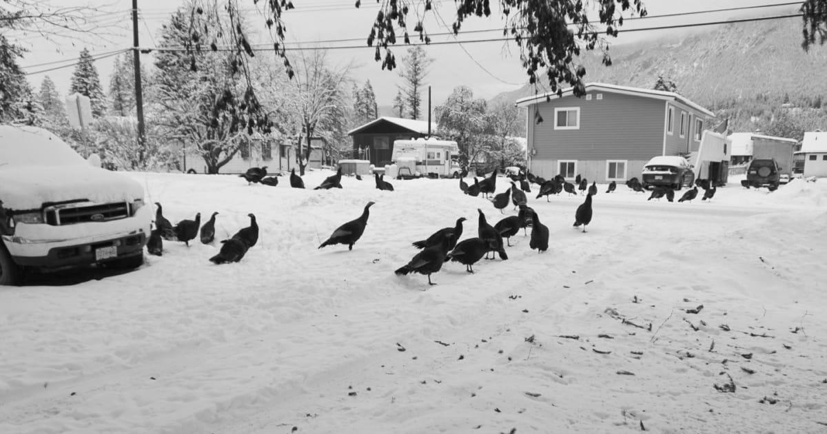 Flocks Of Wild Turkeys Are Driving People Nuts In B.C.