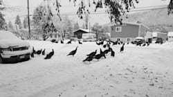 Flocks Of Wild Turkeys Are Driving People Nuts In