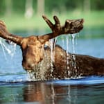Moose Drowns After Being Crowded By