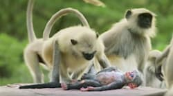 Heartbroken Monkeys Grieve Over 'Dead' Robotic Spy