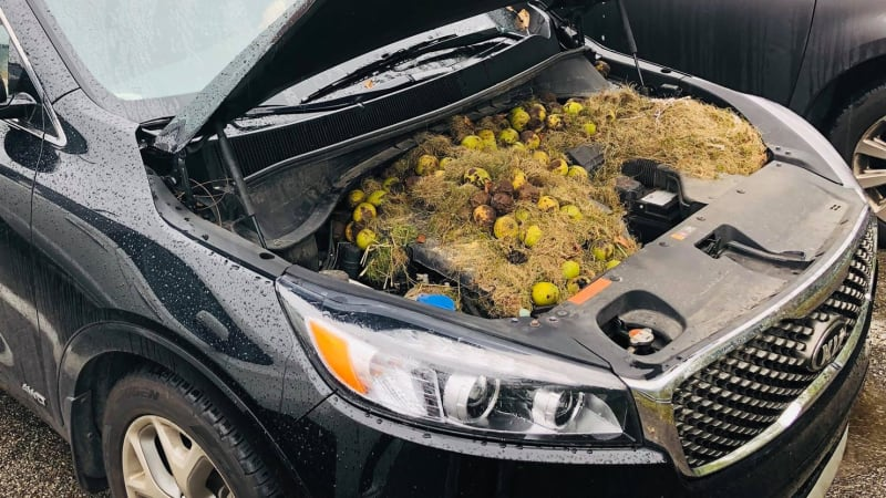 Squirrels store 200 nuts for winter in engine bay of couple's car