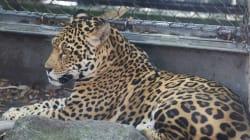 Escaped Jaguar Kills 6 Animals At New Orleans