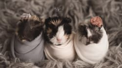 Newborn Guinea Pig Photo Shoot Will Make Your Every