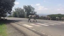 Natasha Stott Despoja Just Shared A Video of A Zebra Crossing... At A Zebra