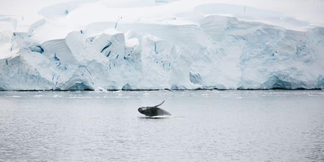 A juvenile whale breaches in the Antarctic seas near a  tabular iceberg in summer.