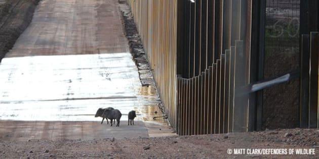 Una familia de jabalíes se encuentran al borde del muro fronterizo que separa a México de Estados Unidos.