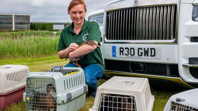Glückliche Enten werden gerettet und fahren in einem Rolls-Royce zu ihrem neuen Zuhause in Goodwood