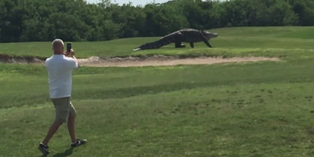 Giant gator on a Florida golf course.