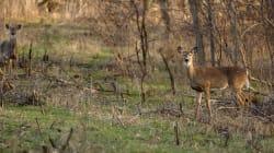 Una mortal enfermedad de ciervos 'zombi' puede propagarse a humanos: