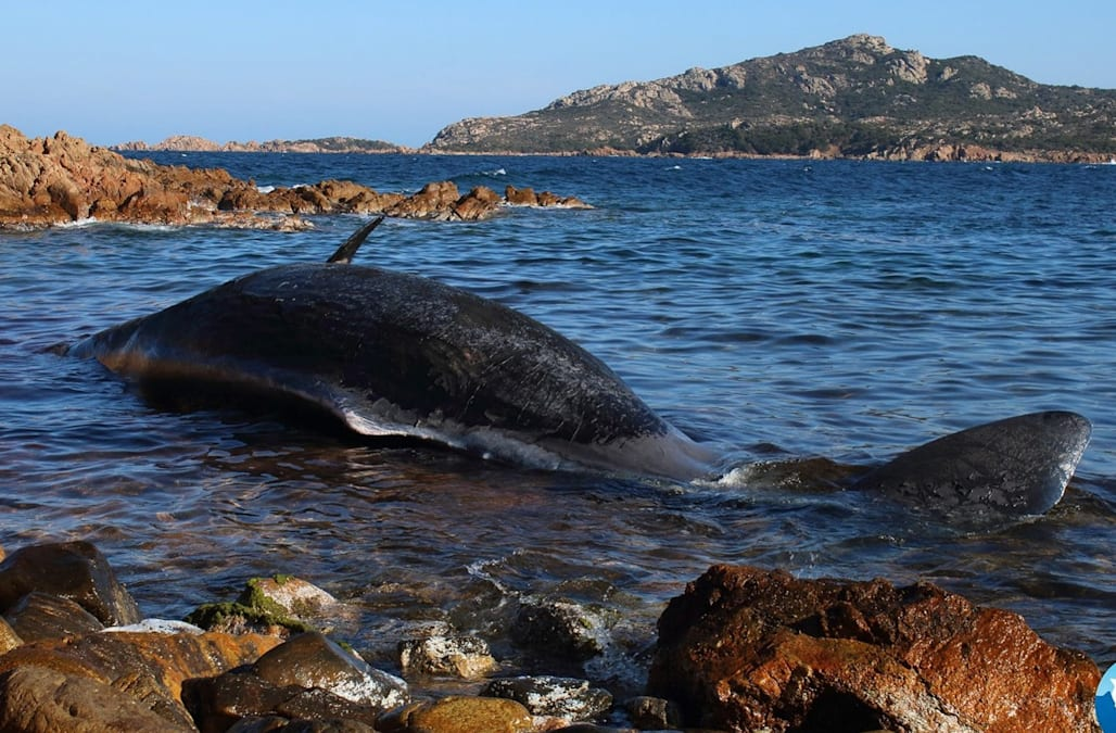 Pregnant Whale Found Dead With Nearly 50 Pounds Of Plastic In
