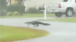 ハリケーン上陸で大変なのに、ワニが町に出現してしまった(動画)