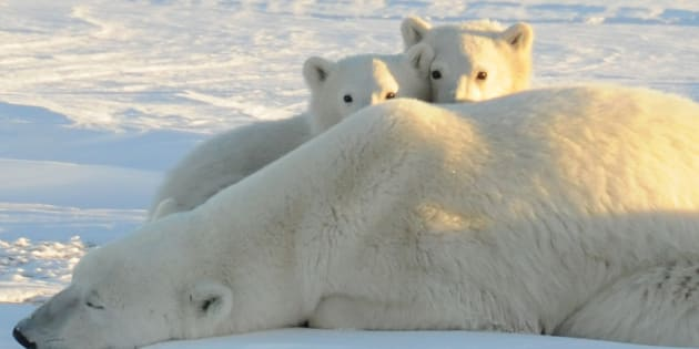 A World Wildlife Fund photograph taken along the western shore of Hudson Bay in November 2010 shows a female polar bear with two cubs near Churchill, Canada, in this image released to Reuters on February 9, 2011. Polar bear mothers will have a harder time carrying cubs to term as Arctic sea ice dwindles, a new study said, and the U.S. government recognized that Pacific walruses need protection in their melting icy habitat. Arctic ice reached the third-lowest level ever recorded in 2010, and was at record low levels in January. Because the Arctic is a major weather-maker for much of the Northern Hemisphere, these changes are being blamed for severe storms in some of the world's most densely populated areas. REUTERS/Geoff York/World Wildlife Fund/Handout (CANADA - Tags: ENVIRONMENT ANIMALS) FOR EDITORIAL USE ONLY. NOT FOR SALE FOR MARKETING OR ADVERTISING CAMPAIGNS
