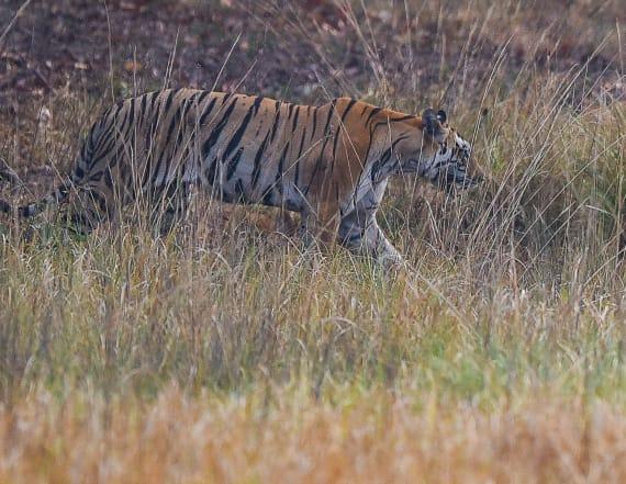 India's man-eating tiger killed after massive hunt