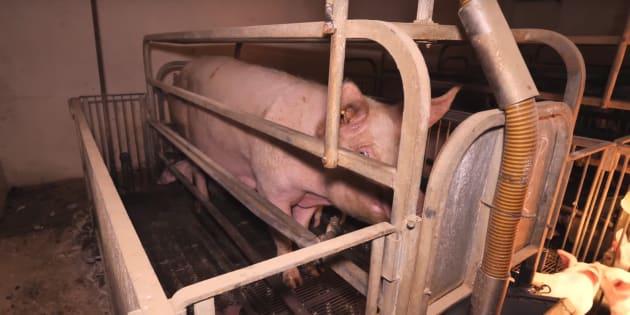 Une vidéo choc dénonce la maltraitance des cochons d'élevages — Italie