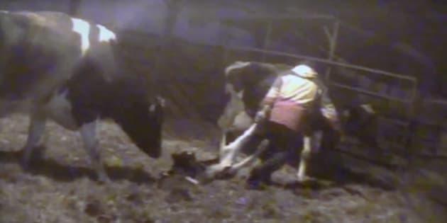 Cette vidéo à l'envers vous montre pourquoi les vegans refusent de boire de lait