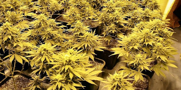 Governo do Uruguai iniciou o registro oficial de cidadãos interessados na compra da maconha na semana passada.