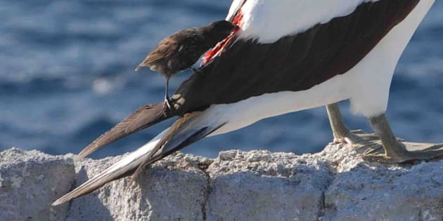 In this Nov. 3, 2015 photo, a vampire finch feeds on the blood from a Nazca booby, at Wolf Island, Galapagos Island, Ecuador.