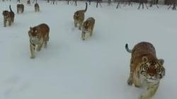 Ce drone s'est approché un peu trop près des tigres qu'il