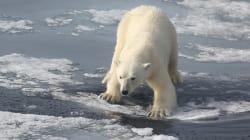 VIDEO: Cámaras en osos polares revelan lo difícil que es conseguir su
