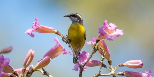 O Brasil é o segundo país do mundo em espécies de aves: são 1911 espécies.