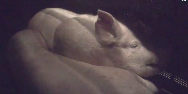 L214 dénonce la souffrance des porcs étourdis au gaz dans un abattoir des Yvelines