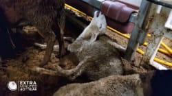 Une vidéo dénonce les effroyables conditions de transport par cargo de milliers de moutons vers