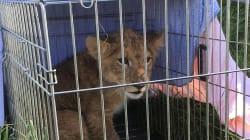 Ce lionceau a été abandonné dans un champ aux