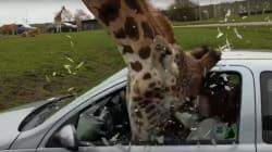 キリンがエサを求めて自動車の中に…。焦ったドライバーが招いた悲劇(動画)