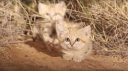 Filman por primera vez crías de gatos del desierto salvaje en el