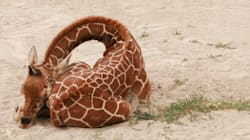 Giraffes Only Sleep For Five Minutes At A