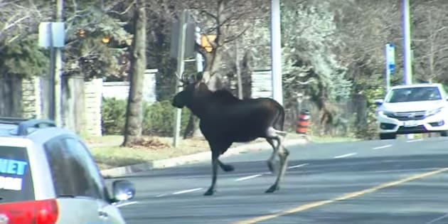 The loose moose.