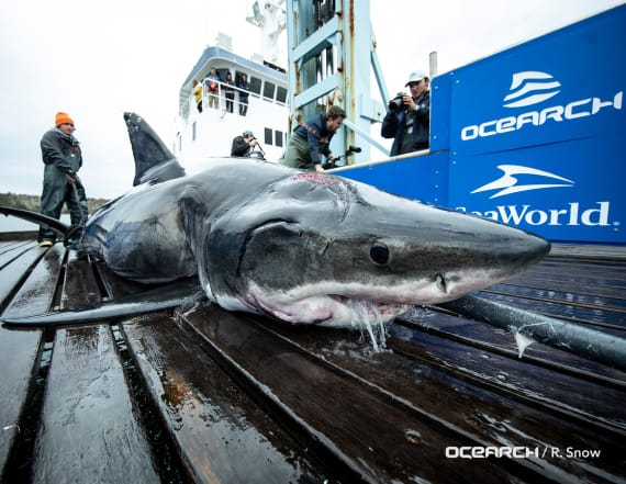13-foot great white shark was bitten by larger shark