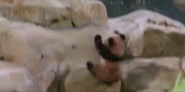 Plus de peur que de mal pour le bébé panda du zoo de Beauval.