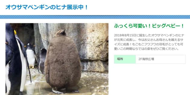 オウサマペンギンのヒナ