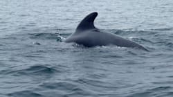 Une baleine empêtrée est recherchée au large du