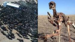 Face à la sécheresse, les agriculteurs australiens autorisés à tuer les