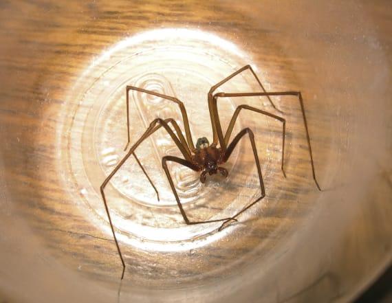 Doctors find venomous spider inside woman's ear
