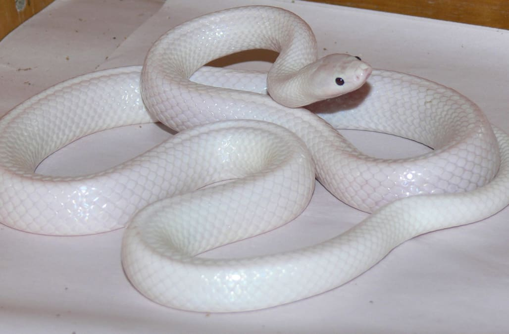 Snake's 'incredibly rare' genetic mutation makes its skin