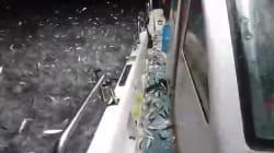 Le comportement étrange de ces sardines a bien surpris le pêcheur qui les