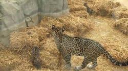 Lenca et Aloha, bébés jaguars nés au parc zoologique de Paris, ont été présentées au