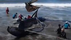 VIDEO: Con una excavadora rescatan a ballena que había encallado en la