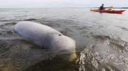 World's Largest Beluga Population Calls This Canadian Coast