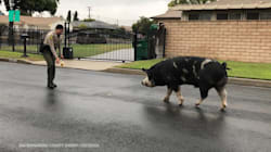 Police Lure Wild Pig Home With A Trail Of